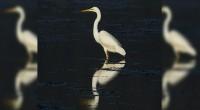 Garceta grande Casmerodius albus Orden: Ciconiiformes Familia: Ardeidae Esta ave tiene una longitud total de 85-100 cm. Se trata de una garza de gran tamaño, muy estilizada y de cuello […]