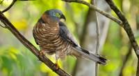 Gavilán cubano pico de gancho Chondrohierax uncinatus Orden: Falconiforme Familia: Accipitridae Es un ave que tiene una longitud total de 38 a 46 centímetros. El pico es notoriamente ganchudo (muy […]
