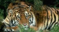 Tigre Pathera tigris Orden: Carnivora Familia: Felidae Entre los félidos que han logrado sobrevivir hasta nuestros días, el tigre es el más grande. En su estado salvaje, el Tigre de […]