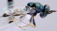 Ndahita de Dios Ávila, estudiante de maestría de ciencias biológico agropecuarias en la Universidad Autónoma de Nayarit (UAN), investiga cuatro nuevos registros de insectos parasitoides que podrían aplicarse al control […]