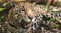 """""""La tala y desmonte ilegales en el sureste de México representan la principal amenaza para el jaguar, especialmente en la región de Calakmul, en la Península de Yucatán"""", sentenció Gerardo […]"""