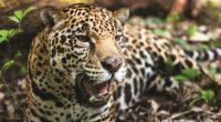 Las acciones para proteger al jaguar, conservar sus hábitats y promover el desarrollo de las comunidades cercanas al entorno del felino, recibieron hoy un impulso durante un encuentro digital entre […]