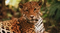 La Alianza WWF-Fundación y las empresas Telmex-Telcel en colaboración con la Alianza Nacional para la Conservación del Jaguar (ANCJ) y la Comisión Nacional de Áreas Naturales Protegidas  (CONANP), presentaron dos […]