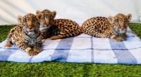Se dio a conocer que en semanas pasadas se dio el nacimiento de tres crías de jaguar, en el Parque Temático Reino Animal, ubicado en el municipio de Teotihuacán, Estado […]