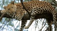 Graciela Montiel H. Leopardo Panthera pardus Orden: Carnivora Familia: Felidae Este félido puede variar en longitud total entre 178 y 236 centímetros y en peso desde 20 hasta 71 kilogramos […]