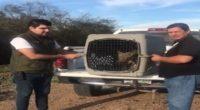 La Procuraduría Federal de Protección al Ambiente (PROFEPA), en coordinación con Protección Civil municipal, rescató dos ejemplares de coyote juveniles machos (Canis latrans) en el Municipio de Guasave y posteriormente […]