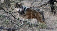 En seguimiento a proyectos de reproducción del Lobo mexicano e incrementar su población en vida libre,se llevó a cabo de manera exitosa, laonceava liberación de cinco ejemplares de esta especie […]