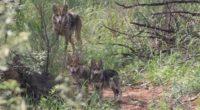La Comisión Nacional de Áreas Naturales Protegidas (CONANP), anuncia la liberación de un grupo familiar de 7 ejemplares de la subespecie lobo gris mexicano (Canis lupus baileyi), compuesto por la […]