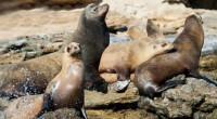 En el Centro de Investigación Científica y de Educación Superior de Ensenada (CICESE), Unidad La Paz, un grupo de científicos corregirá las estimaciones de lobos marinos de la Bahía La […]