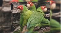 Loro Tamaulipeco Amazona viridigenalis Orden: Psittaciformes Familia: Psittacidae Es un loro de entre 30 y 33 centímetros de longitud total. En los machos predomina el color verde, pero las áreas […]