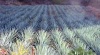 Los plantíos de maguey, ubicados en el municipio hidalguense de Zempoala, y en los mexiquenses de Nopaltepec, Axapusco y Otumba serán valorados por especialistas para determinar si se pueden incluir […]