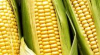 De acuerdo a un estudio del Colegio de México (Colmex), el Centro de Investigación y Docencia Económicas (CIDE), Desarrollo y Alimentación Sustentable y la Universidad de California, el maíz mexicano […]