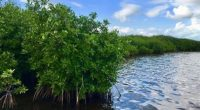 Los manglares, un tipo de vegetación característica de las zonas costeras de los trópicos y subtrópicos compuesta de una o varias especies de árboles y arbustos, son los ecosistemas que […]