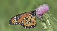 La Semarnat inició la apertura de los santuarios de la Reserva de la Biosfera Mariposa Monarca, ubicados entre los estados de México y Michoacán, a donde llegan millones de monarcas […]