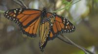 Las primeras mariposas Monarca cruzando el cielo sobre los bosques de oyamel en los Santuarios de Chincua y El Rosario, en Michoacán y Cerro Pelón y Piedra Herrada, en el […]