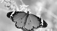 Mariposa Monarca.- La Secretaría del Medio Ambiente mexiquense aportó al Fondo de Conservación de la Mariposa Monarca 2 millones 500 mil pesos, con lo que se buscará apoyar a los […]
