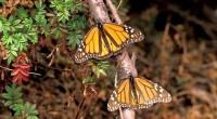 Ante el anuncio de la Comisión Nacional de Áreas Naturales Protegidas (CONANP) y el Fondo Mundial para la Naturaleza (WWF, por sus siglas en inglés), que durante la temporada 2015–2016, […]