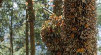 """Para dar a conocer la gran biodiversidad que alberga la Reserva de la Biosfera Mariposa Monarca (RBMM), la Red Monarca, estrena y comparte el corto documental """"Más Allá de la […]"""
