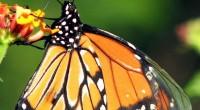 De la zona neártica proceden las especies típicas de los climas fríos, como las espléndidas mariposas monarca, el borrego cimarrón y el lobo mexicano, así como pinos, abetos y otras […]