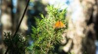En los bosques templados entre los límites del Estado de México y Michoacán cada año hiberna entre noviembre y marzo la Mariposa Monarca (Danaus plexippus), recorriendo más de 4,000 kilómetros […]