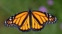 * La unión de propósitos en favor de la mariposa monarca, de Enrique Peña Nieto, Barack Obama y Stephen Harper, es asunto de la mayor importancia. Perder a ese insecto […]