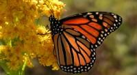 Aunque no se la encuentra amenazada de extinción, el declive alarmante y grave en la población de La Monarca de América que viene de Canadá y Estados Unidos para hibernar […]