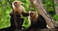Los monos capuchinos, que viven en selvas y bosques de varios países de América del Sur, en su hábitat natural realizan movimientos muy variados, más de la mitad destinados a […]