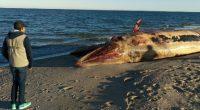 La Procuraduría Federal de Protección al Ambiente (PROFEPA), en coordinación con elementos de SEMAR, SEDENA, CICESE, UABC y la ONG Sea Shepherd, atendieron el hallazgo de tres ejemplares de ballena […]