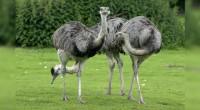 Ñandú Rhea americana Orden: Rehiformes Familia Rheidae El ñandú es un ave que siéndolo, es incapaz de volar, pero sí de correr a gran velocidad si se siente en peligro. […]