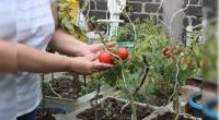 Nezahualcóyotl, Méx.- Para impulsar la seguridad alimentaria mediante la producción de alimentos sanos, el gobierno municipal que encabeza el alcalde Juan Zepeda, puso en marcha en agosto de 2013 el […]