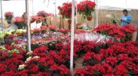 En México, la flor de Nochebuena se comercializa de precios desde los 20 a los 700 pesos, dependiendo del tamaño de esta planta endémica del país, que cuenta con más […]