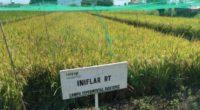 Para elevar la productividad y reducir las importaciones de arroz en México la Secretaría de Agricultura, Ganadería, Desarrollo Rural, Pesca y Alimentación (SAGARPA), a través del Instituto Nacional de Investigaciones […]