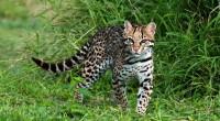 Ocelote Leopardus pardalis Orden: Carnívora Familia: Felidae El Ocelote es conocido como tigrillo y gato onza. En estado adulto el ocelote mide entre 130 y 200 centímetros de longitud total […]