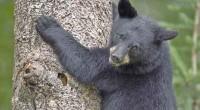 El oso negro mexicano es especie emblemática en nuestro país. Su población se distribuye en las Sierras Madre Occidental y Madre Oriental hasta la Sierra Gorda, en Querétaro. La NOM-059-SEMARNAT-2010 […]