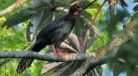 Pajuil Penelopina nigra Orden: Galliformes Familia: Cracidae El Pajuil es un ave de tamaño mediano de 55 a 66 centímetros de longitud total. Recuerda vagamente a una gallina con cola […]