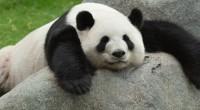 """Tras un año en cartelera, la película """"Pandas. De regreso a casa"""" 3D finaliza funciones el próximo viernes 27 de marzo y que ha sido difundida en la Megapantalla IMAX […]"""