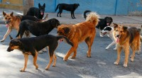 Especialistas sostienen que en México hay poca o nula cultura sobre el bienestar animal, tanto para los casi 20 millones de animales de compañía como los de confinamiento –silvestres- o […]