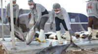 La Dirección General de Inspección y Vigilancia de la Comisión Nacional de Acuacultura y Pesca (Conapesca) informó que sus elementos están en permanente actividad para evitar la comisión de delitos […]