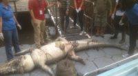 La Procuraduría Federal de Protección al Ambiente (PROFEPA) realizóla necropsia de un cadáver de Cocodrilo de Río (Cocodrylus acutus) encontrado en el Área Natural Protegida (ANP) Estero El Salado, con […]