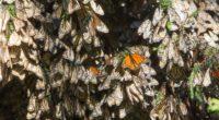 Cinco hectáreas de la Reserva de la Biosfera Mariposa Monarca (RBMM) sufrieron degradación entre marzo de 2018 y marzo de 2019, lo cual representa una disminución de 25.4% respecto a […]