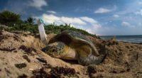 México recibe 6 de las 7 especies de tortugas marinas del mundo. Una de estas es la tortuga golfina (especie en peligro de extinción de acuerdo a la NOM-059-SEMARNAT-2010) la […]