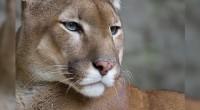 Puma Puma concolor Orden: Carnívora Familia: Felidae El puma es un animal de gran porte, esbelto, de larga cola, ágil y fuerte, aunque su tamaño –y también color- varía de […]