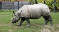 Rinoceronte de Java Rhinoceros sondaicus Orden: Perissodactyla Familia: Rhinocerotidae Este animal es una de las cinco especies de Rinocerontes que existe y a su vez es la especie más rara […]
