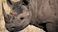 Desde hace unos días se está publicando, incluso en medios muy prestigiados como la CNN (http://cnnespanol.cnn.com/2013/05/06/declaran-extinto-al-rinoceronte-negro-de-mozambique/), la noticia de que el rinoceronte negro ha sido declarado extinto, desinformación que ha […]
