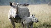 El rinoceronte blanco (Ceratotherium simum) es la mayor de las cinco especies de rinocerontes que existen en la actualidad. Puede llegar a los 4,2 metros de longitud y 1,85 metros […]