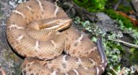 La población de numerosas especies de serpientes de la familia Viperidae, o víboras en México, tiene problemas de conservación, situación poco difundida debido a las carencias informativas al respecto; ante […]