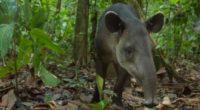 En América no se tienen elefantes, pero sí tapires, que con sus 300 kilogramos de peso, las dantas o tapires son los mamíferos más grandes que habitan desde el centro […]