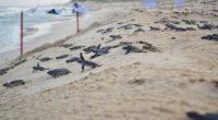 Desde huellas de mapache en la arena y jabalíes transitando por calles hasta tortugas que adelantan la temporada de anidación, los efectos positivos se dejan notar en la Isla de […]