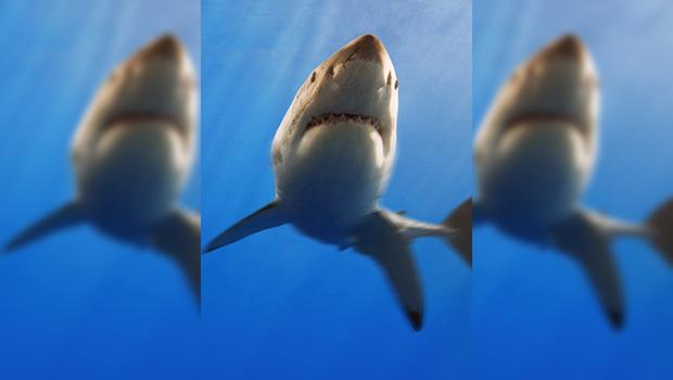 Aunque la gente no lo sepa, un tiburón genera muchos beneficios ecológicos a ecosistemas marinos y, por lo que toca a la industria turística, cada uno de estos escualos vivos […]