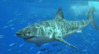 Este enigmático depredador tope es el protagonista del documentalEl gran tiburón blanco, protector de los océanos,un filme elaborado por un grupo de camarógrafos mexicanos y científicos de la Alianza WWF-Fundación […]